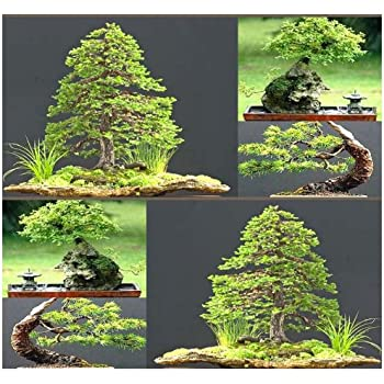 mini bonsai tree kit instructions